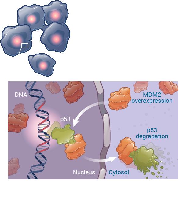 Mdm2 cancer cells kartos