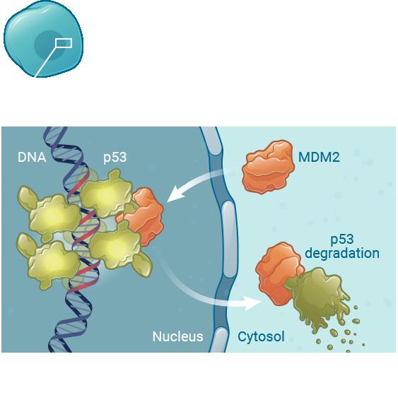 Mdm2 normal cells kartos